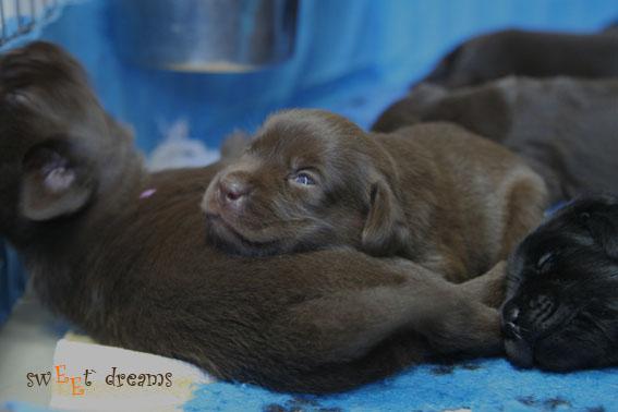 Puppies of labrador retrievers