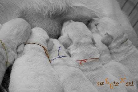 Puppies of labradors